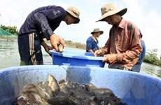 """Giá rớt thê thảm, người nuôi cá ở Long An """"sống dở chết dở"""""""