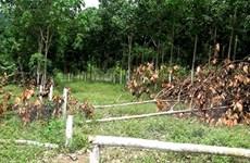 Hàng trăm cây cao su gần thu hoạch mủ bị kẻ xấu chặt phá