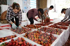 Vải thiều Lục Ngạn được mùa, giá tăng cao nhất từ trước đến nay