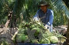 Tỉnh Bến Tre xây dựng chuỗi giá trị dừa xiêm xanh