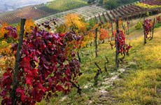 Sản lượng nho thấp kỷ lục, ngành rượu vang Italy có nguy cơ thất bát