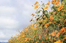 Du khách nườm nượp đổ về Ba Vì thưởng ngoạn hoa dã quỳ
