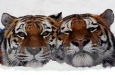 Nga triệt phá đường dây buôn bán các bộ phận động vật quý hiếm