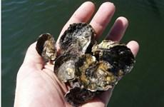 99% diện tích rạn san hô từ sinh vật vỏ cứng đã biến mất ở Australia