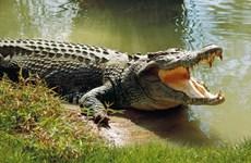 Cà Mau: Người dân phát hiện cá sấu nằm ven bờ sông Ông Đốc