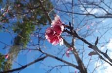 Hoa anh đào Nhật Bản sẽ khoe sắc trên quê hương Quan họ