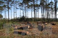 Bắt giam Chủ tịch xã nhận hối lộ để rừng thông bị đốn hạ trơ trụi