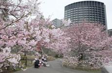 [Photo] Say đắm vẻ đẹp của hoa anh đào trên đường phố Nhật Bản