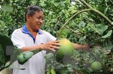 """Người nông dân Tiền Giang từ hộ nghèo trở thành """"Vua bưởi da xanh"""""""
