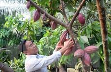 Diện tích, năng suất và sản lượng ca cao tại Đắk Lắk giảm mạnh