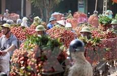 Hải Dương xuất khẩu khoảng 9.500 tấn vải quả sang các thị trường ngoại