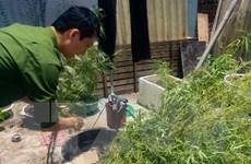 Thuê đất trồng càphê để 'cài' hàng trăm cây cần sa trái phép