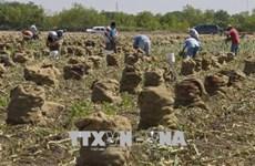 Mỹ giải ngân gói trợ cấp 12 tỷ USD cho nông dân từ cuối tháng 9