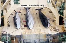 Australia phản đối Nhật Bản đề xuất dỡ bỏ lệnh cấm đánh bắt cá voi