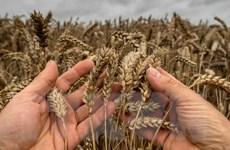 Nắng nóng gay gắt đang tàn phá vựa lúa mì lớn nhất thế giới