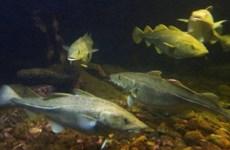 EU nhất trí tăng thêm 70% hạn ngạch đánh bắt cá tuyết Tây Baltic