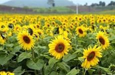 [Video] Cánh đồng hoa Hướng dương - điểm check in 'hot' nhất Sài thành