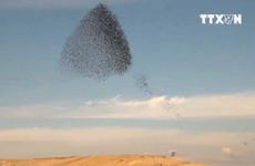 [Video] Vũ khúc kỳ lạ của bầy sáo đá trên bầu trời Israel