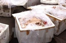Xe khách giường nằm cất giấu gần nửa tấn thịt, mỡ lợn hôi thối