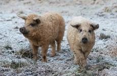 [Video] Những giống lợn kỳ lạ trên thế giới vẫn tồn tại đến ngày nay