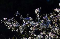 [Video] Đắm say với loài hoa lãng mạn nhất núi rừng Tây Bắc