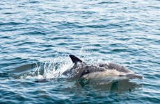 Pháp thử nghiệm phương pháp mới bảo vệ cá heo bằng sóng âm