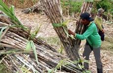 Về đâu mùa ngọt mía đường Nam Trung Bộ - Bài 1: Nỗi khổ của nông dân