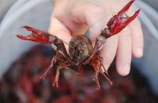 [Video] Sức phá hoại đáng sợ của sinh vật ngoại lai tôm càng đỏ