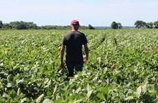 Nông dân trồng đậu tương Mỹ mắc kẹt trong thương chiến với Trung Quốc