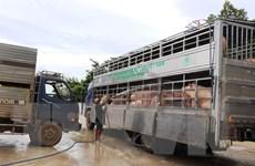 14 con lợn nhiễm tả châu Phi vẫn được cấp chứng nhận kiểm dịch