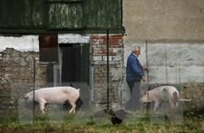 Bulgaria tiếp tục phát hiện thêm một ổ dịch tả lợn châu Phi