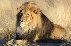 Tòa án cao cấp Nam Phi ra phán quyết cấm xuất khẩu xương sư tử