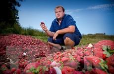 Australia kỳ vọng phục hồi ngành dâu tây sau sự cố kim khâu