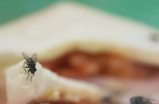 Loài ruồi - 'vị cứu tinh' đắc dụng xử lý các loại thực phẩm thừa
