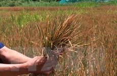 Đắk Lắk thiệt hại hơn 1.000 ha cây trồng do hạn hán giữa mùa mưa