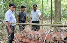 Bảo tồn, nhân rộng nguồn gen nấm Linh chi Vườn Quốc gia Phước Bình