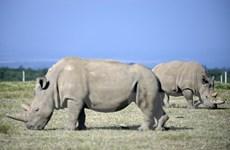 Cấy ghép thành công phôi thai của loài tê giác trắng phương Bắc