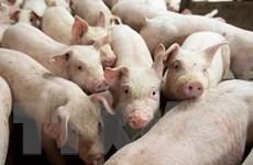 Thành phố Bắc Kinh đầu tư gần 120 triệu USD vào ngành nuôi lợn