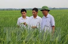 Bắc Ninh: Chắp cánh thương hiệu lúa nếp cái hoa vàng Yên Phụ