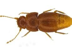 Một loài bọ hung được mang tên nhà hoạt động môi trường trẻ tuổi Greta