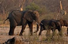 Zimbabwe di chuyển số lượng động vật hoang dã lớn nhất lịch sử
