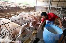 Bàn giải pháp phòng chống bệnh dịch tả lợn châu Phi tại Việt Nam