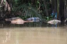 Bến Tre: Sông Mỏ Cày nổi đầy xác lợn chết khiến người dân lo lắng