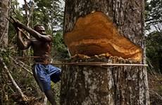 Rừng nhiệt đới lớn thứ hai thế giới đối mặt với nguy cơ biến mất