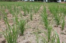 Người trồng lúa Thái Lan giàu lên nhờ canh tác thân thiện môi trường