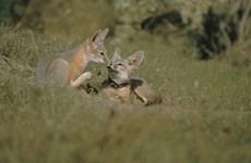 Mỹ: Thuốc diệt chuột kịch độc hủy hoại nhiều loài động vật hoang dã