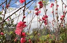 Hoa đào Bắc bung sắc hồng rực rỡ trên phố núi Tây Nguyên