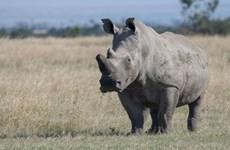 Con tê giác đen già nhất thế giới vừa qua đời ở Tanzania