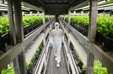 Nhật Bản đi tiên phong về kỹ thuật nông trại thẳng đứng