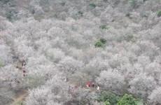 [Video] Hoa mơ khoe sắc trắng muốt trên cao nguyên Mộc Châu